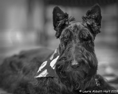"""20180913Dear Diary18558-Edit (Laurie2123) Tags: fujixt2 laurieturnerphotography laurietakespics laurie2123 maggie missmaggie scottie scottishterrier blackscottishterrier blackdog dog fujinonx1855mm home newdo """"dear diary"""