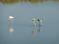 P1060288 (amalia_mar) Tags: αλυκήαιγίουυδροβιότοποσ αιγιάλεια αχαϊα ελλάδα πουλιά φλαμίγκο θάλασσα νερό πανίδα sundaylights