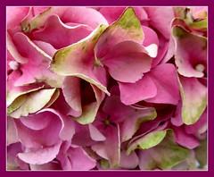 Pink Hydrangea. (jenichesney57) Tags: