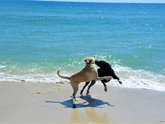 Playtime (ckorfanty) Tags: dogs water blue beach sand retriever labrador brown sun dog stgeorgeisland