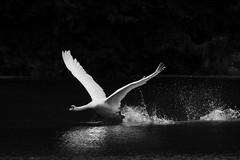 Furious (Hotcoffee68) Tags: swan nature naturephotography nikon nikond500 danmark denmark 200500mm wildlife wings water bw