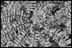 Inward spiral (Deb Felmey) Tags: mckeldinpark blackandwhite fern nature patterns abstract spiral lines