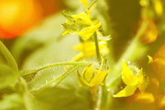Beginnings (Barrie T) Tags: macro home garden greenhouse flowers tomatoes yellow blur