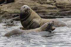 steller sea lion-7133 (pmbell64) Tags: capitalg britishcolumbia canada ca