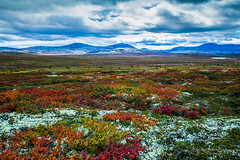 Autumn colors in the mountains (B.AA.S.) Tags: rondane norway norge nature natur nopeople colors colorful lichen moss heather mountain landscape landskap høst autumn fall fargerik farger høstfarger hedmark idyllic hiking rondanenationalpark plant
