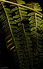 Fern (ianbartlett) Tags: outdoor leaves macro dragonflies butterflies fern spores light colour workman trees