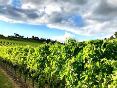 Vignes avant la vendange, #cortaillod #neuchatel (mario.piller) Tags: vin vigne cortaillod neuchatel