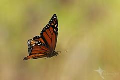 Monarch Butterfly (VS Images) Tags: monarchbutterfly butterfly butterflies insect insects insectsinflight flight insecta danausplexippus butterfliesinflight australia nsw nature ngc naturephotography vsimages vassmilevski olympus olympusau olympusinspired getolympus m43 omd