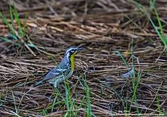 Yellow-Throated Warbler (doc ellen) Tags: jordanlake yellowthroatedwarbler jordanlakestatepark songbird flycatcher