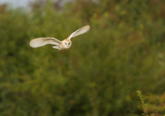 Barn Owl (ian._harris) Tags: august bird colours d7200 flickr fowlmere life naturaleza natural nature naturephotography nikon rspb sigma summer owl barnowl animals