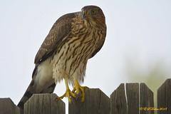August 25, 2018 - A hungry Cooper's Hawk in Thornton. (Ed Dalton)