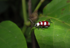Omophoita sexnotata (Edson Roberto - Potim) Tags: besouro omophoitasexnotata chrysomelidae