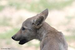 Louveteau du Canada (Passion Animaux & Photos) Tags: loup louveteau canada canadian wolf canis lupus occidentalis