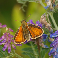 2018_07_0383 (petermit2) Tags: smallskipperbutterfly smallskipper butterfly northcavewetlands northcave brough eastyorkshire eastridingofyorkshire yorkshire yorkshirewildlifetrust ywt wildlifetrust wildlifetrusts