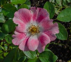 Pink Meidiland rose (frankmh) Tags: plant flower rose pinkmeidilandrose fredriksdal helsingborg skåne sweden macro