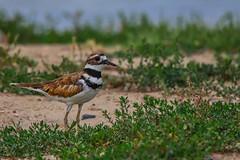 Killdeer (jimmy.stewart40) Tags: wildlife bird killdeer wildbird closeup green grass weeds dirt sky blue nature outdoors