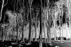 Gespensterwald (petra.foto busy busy busy) Tags: fotopetra canon 5dmarkiii schwarzweis monocrom wald unheimlich gespensterwald ostsee nienhagen germany art petrasart
