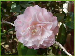 Camellia (3) (margaretpaul) Tags: garden homegarden blossoms flowers camellia