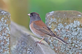 Dark-eyed Junco (Oregon) 18-0422-2673