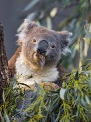 Koala eating in the tree (Tambako the Jaguar) Tags: koala marsupial male cute portrait eating eucalyptus leaves tree close zürich zoo switzerland nikon d5