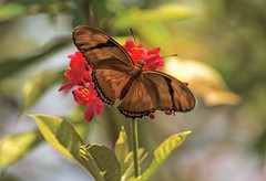 Dryas Delight (ACEZandEIGHTZ) Tags: bokeh dryas iulia orange winged insect nikon d3200 closeup coth ngc coth5 sunray5