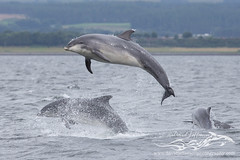BND breaching-0486 (David Jefferson Photo) Tags: bottlenose dolphin dolphins whales cetaceans fin fluke tail breach leap breaching moray forth chanonry point fortrose
