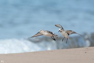 ''Beach!'' Bécasseau sanderling-Sanderling