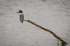 Branching Out (ausmc_1) Tags: 2018 nikkor2oo500f56vr comox waterfront d800 outdoor komokscomoxestuary august beltedkingfishercerylealcyon canada wetland britishcolumbia birds vancouverisland