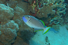 blue cheek (BarryFackler) Tags: hawaiiisland bigisland 2018 barryfackler honaunaubay ocean animal undersea pacific sealife marinelife nature reef being island zoology fish xanthicthysauromarginatus gildedtriggerfish xauromarginatus triggerfish vertebrate westhawaii saltwater hawaiianislands marine organism tropical diving southkona marinebiology aquatic life underwater coralreef sea polynesia konacoast honaunau water ecology fauna bigislanddiving seacreature diver barronfackler marineecosystem dive outdoor pacificocean scuba sealifecamera sandwichislands seawater hawaii hawaiicounty hawaiidiving kona konadiving creature coral bay biology marineecology wildlife