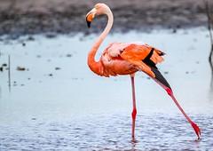American Flamingo (backyardzoo) Tags: sulp flamingo american yucatan mexico