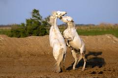 horses of camargue (Mary Bassani) Tags: horse horses cavalli camargue france animal animalplanet chevaux mammal mammiferi canonphotographer wildlifephotographer wildlife wild naturewildlife