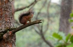 Red Squirrel in Heavy Rain (volesandfriends) Tags: ekorre redsquirrel sciurusvulgaris änggårdsbergen gothenburg sweden
