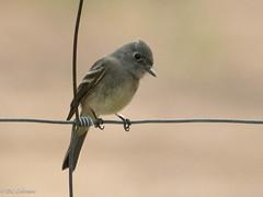 Hammond's Flycatcher (Empidonax hammondii) (Chub G's M&D) Tags: avian utah greatsaltlake aves antelopeislandstatepark empids birds empidonaxhammondii hammondsflycatcher flycatcher birdphotography daviscounty