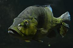 Xingu-Kammbarsch (Tobi NDH) Tags: xingukammbarsch kammbuntbarsch kammbarsch hechtbuntbarsch chichlamelaniae chichlaxingu aquariumberlin zoo fish crenicichla jacundá