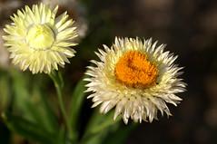 Strohblume, Garten- / strawflower (Helichrysum bracteatum) (HEN-Magonza) Tags: botanischergartenmainz mainzbotanicalgardens rheinlandpfalz rhinelandpalatinate deutschland germany flora strohblume gartenstrohblume strawflower helichrysumbracteatum