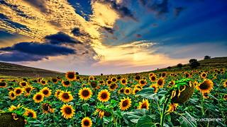 harvest time  / 0809180445