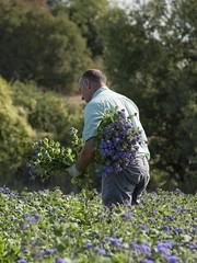 Le temps des récoltes (Titole) Tags: ageratum field cueillette cueilleur man worker titole nicolefaton