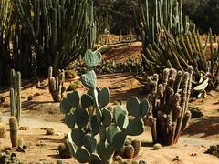 Cactus Country, Strathmerton 1421 (Lesley A Butler) Tags: victoria strathmerton cactuscountry cacti australia