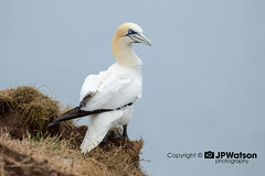 Gannet Looking Out To Sea