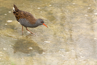 Water Rail feeding