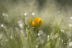 rise and shine! (Emma Varley) Tags: dew droplets sparkle shine yellow grass earlymorning firstdayofschoolnerves