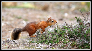 IMG_0082 Red Squirrel