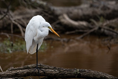 Great Egret (grobinette) Tags: greategret egret huntleymeadowspark huntleymeadows explored