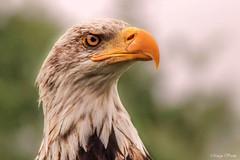 Zeearend (Marga Vroom) Tags: zeearend roofvogel birds roofvogelshow