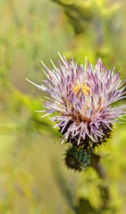 marsh thistle (JoelDeluxe) Tags: blue creek cienega cityofsantarosa nm newmexico guadalupecounty marsh thistle pecos sunflower spring seep marshes runs creeks calciumrich waters wrightsmarshthistle pecossunflower joeldeluxe
