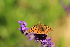 Time of nectar (Nicky@Photography) Tags: nature fleur lavande insecte papillon mornant rhône france