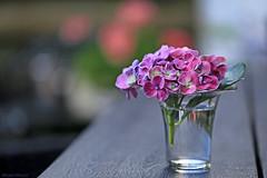 September Beauty (eleni m) Tags: september 2018 flowers bloemen garden backyard tuin hydrangea hortensia tabletop table vase glass dof bokeh outdoor water macro