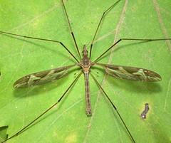 Tipula (Acutipula) repanda (male) (ruiamandrade) Tags: tipula acutipula repanda tipulidae diptera fly mosca insectos insects nature natureza