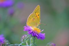 Another Gentle Creature . . . (doc030395) Tags: iowa forestcity clarkstreet gardens butterflies colorful gentlecreatures floating breeze