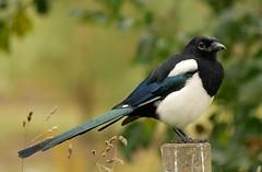Magpie (PhotoLoonie) Tags: bird magpie wildbird wildlife nature